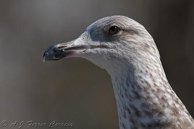 GGaivota-de-asa-escura (juvenil) - Larus fuscus Lesser black-backed Gull (juvenile)