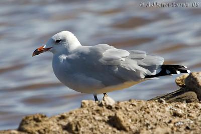Gaivota-de-Audouin (Ichtyaetus audouinii) - Algarve, Outono Audouin's Gull - Algarve, in Autumn