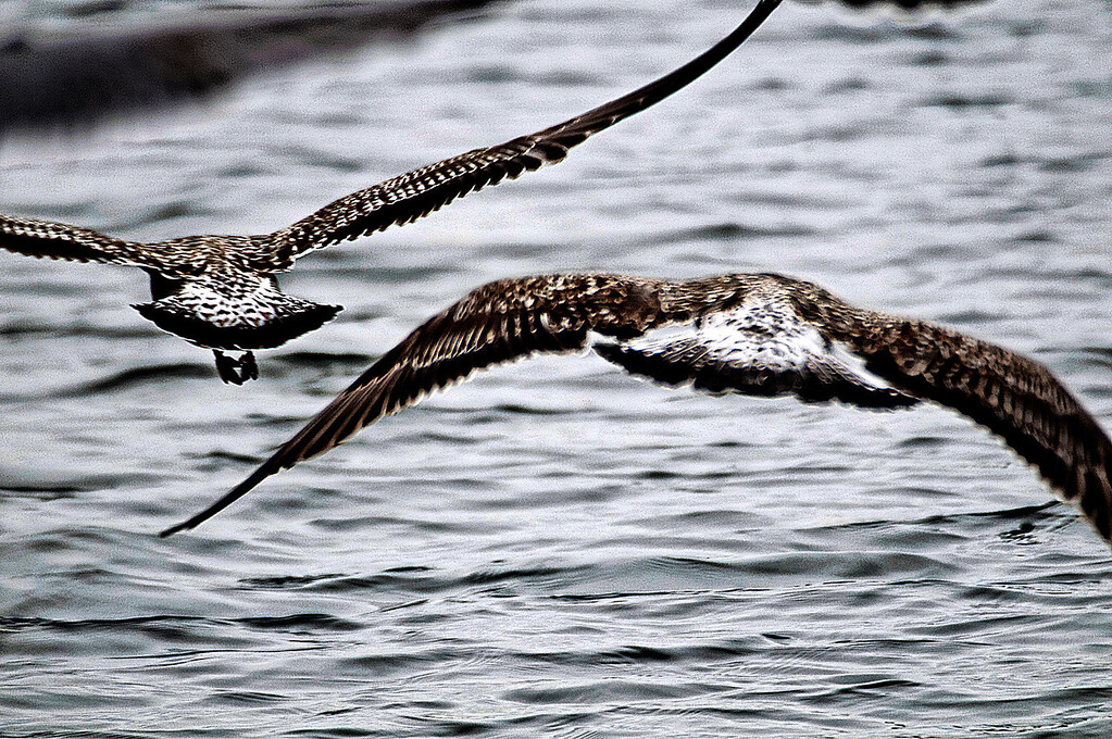 Gaivotas à pesca