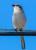 Loggerhead Shrike from about 20 feet.