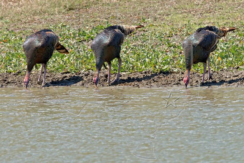 Wild Turkeys Drinking from Pond,<br /> near Nordheim, TX