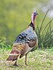 Wild Turkey,<br /> Aransas National Wildlife Refuge, Texas