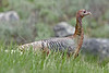 Wild Turkey Hen, Beartooth Pass,<br /> Near Yellowstone National Park<br /> Wyoming, USA