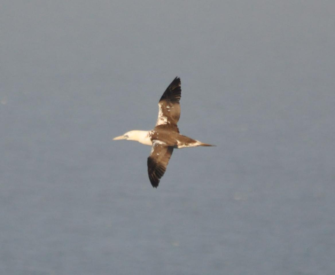 Gannet, young, flight, Bempton, April, 2011
