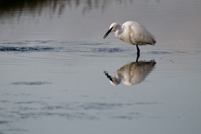 Garça Branca (Egretta garzetta)