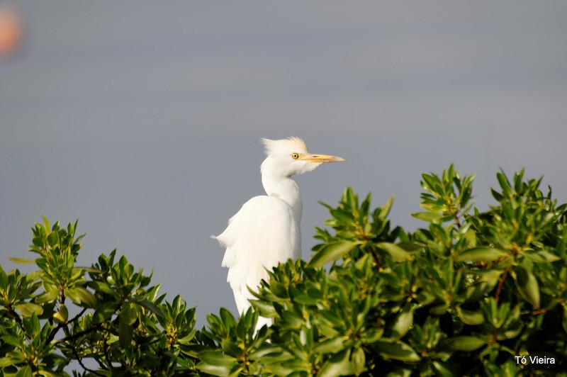 garça-vaqueira ou garça-boieira (Bubulcus ibis)