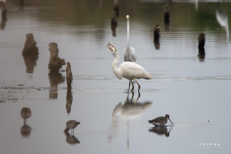 Garça-branca-grande (Egretta alba)