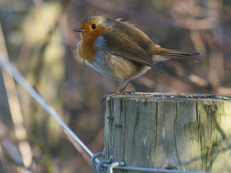 Robin, Pagham harbour