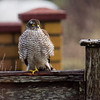 Sparrow hawk a bit flustered in the wind