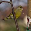 Greenfinch dropping its food. Beak malfunction!