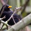 Blackbird - Welling