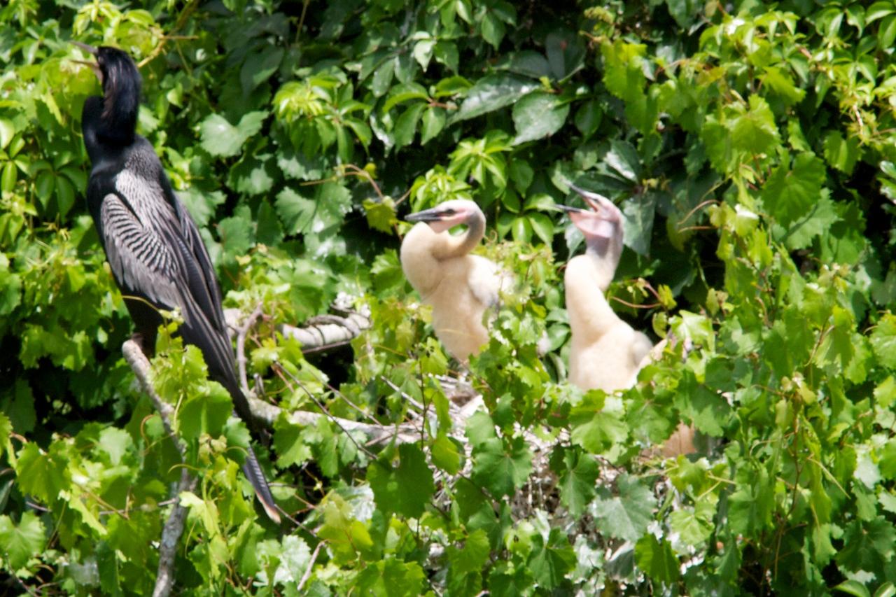 Anhinga w/ 2 immature birds