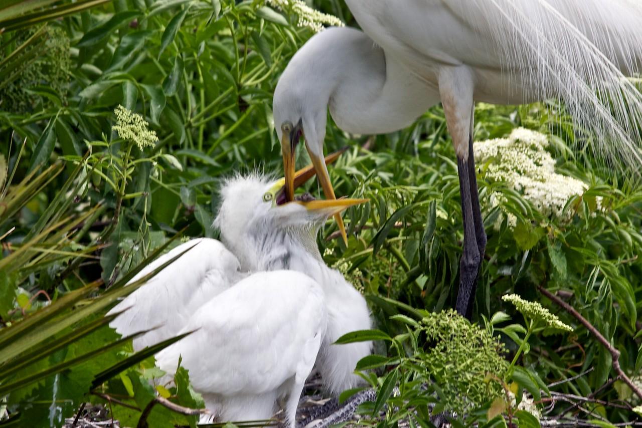 Great Egret w/ chicks