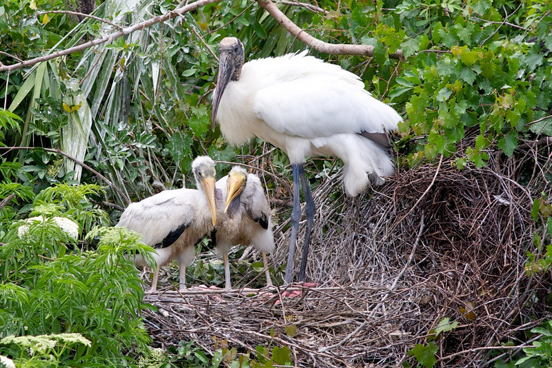 Wood Stork w/ chicks5
