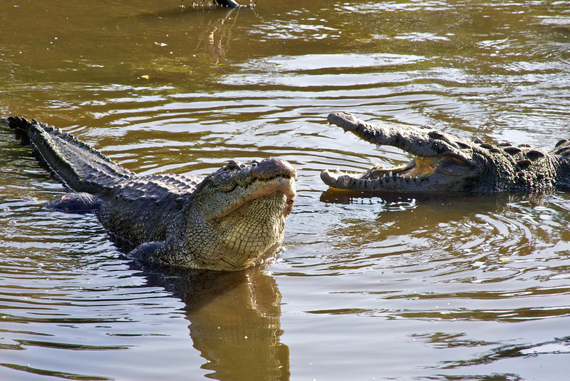 American crocs bellowing