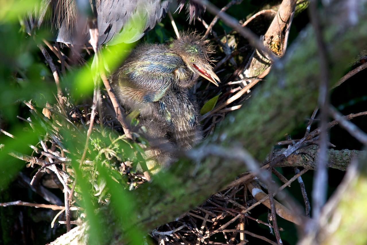 Green heron chick
