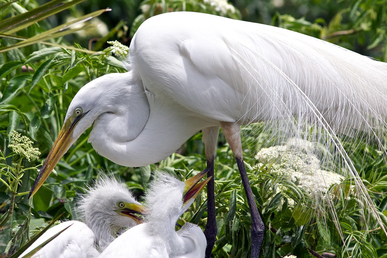 great egret w/ chicks