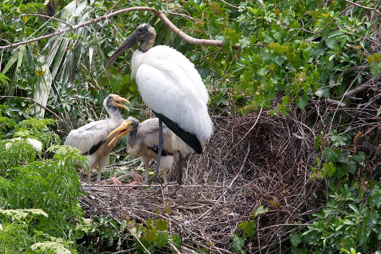 Wood Stork w/ chicks5