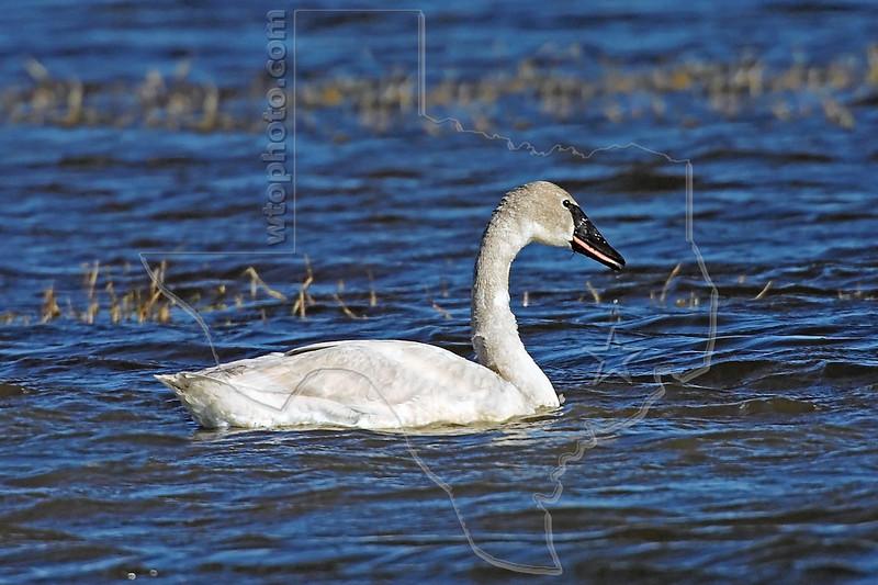 Trumpeter Swan,<br /> Brazoria National Wildlife Refuge, Texas