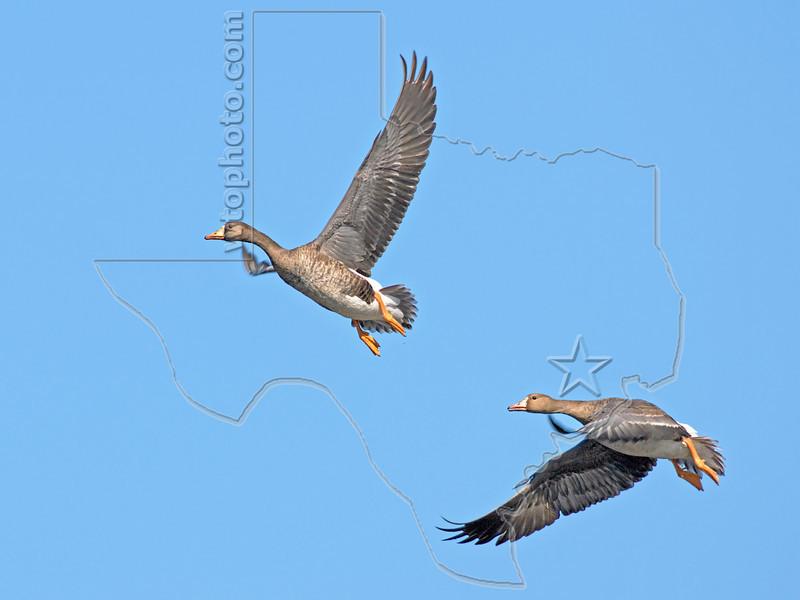White-fronted Geese, Flight,<br /> Brazoria National Wildlife Refuge, Texas