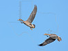 White-fronted Geese, Flight,<br /> Brazoria National Wildlife Refuge, Texas