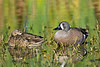 Blue-winged Teal Ducks, Female and Male,<br /> Brazoria National Wildlife Refuge, Texas
