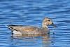 Gadwall Duck, Male,<br /> Brazoria National Wildlife Refuge, Texas