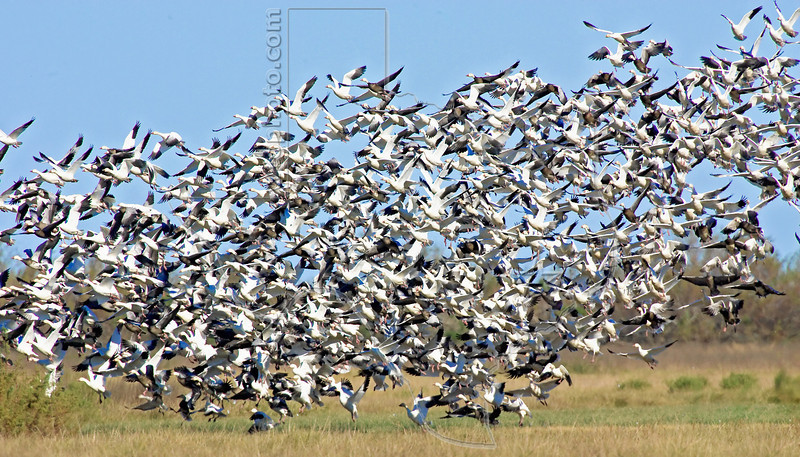 Snow Geese and Ducks, Lift Off,<br /> Brazoria National Wildlife Refuge, Texas