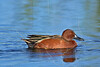 Male Cinnamon Teal Duck,<br /> Brazoria National Wildlife Refuge, Texas