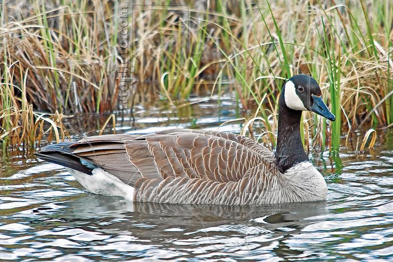 Canada Goose,<br /> Peter Lougheed Provincial Park, Kananaskis Country, Alberta