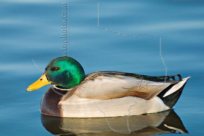 Mallard Duck, Male,<br /> Bakersfield, California