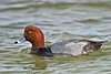 Redhead Duck, Male,<br /> Rockport, Texas