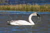 Trumpeter Swan,<br /> Brazoria National Wildlife Refuge