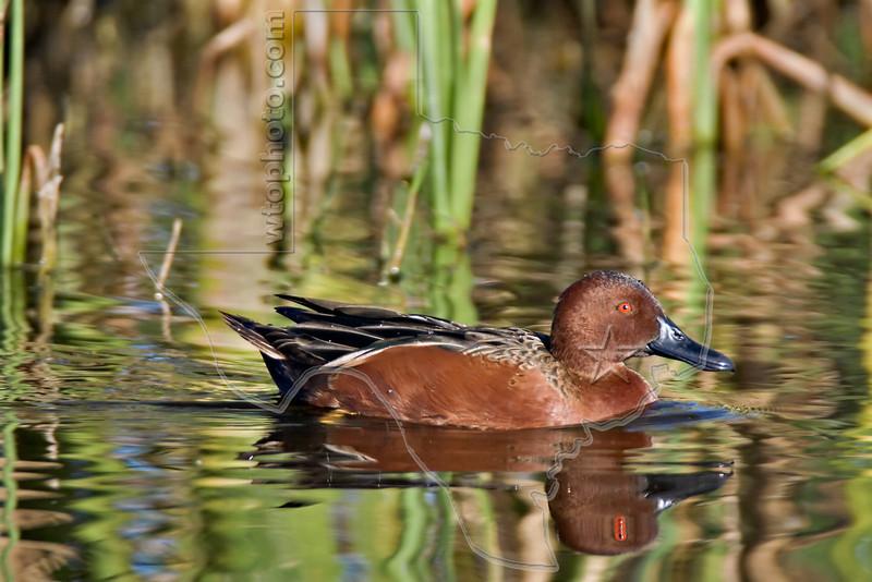 Male Cinnamon Teal Duck,<br /> Brazoria National Wildlife Refuge, Texas