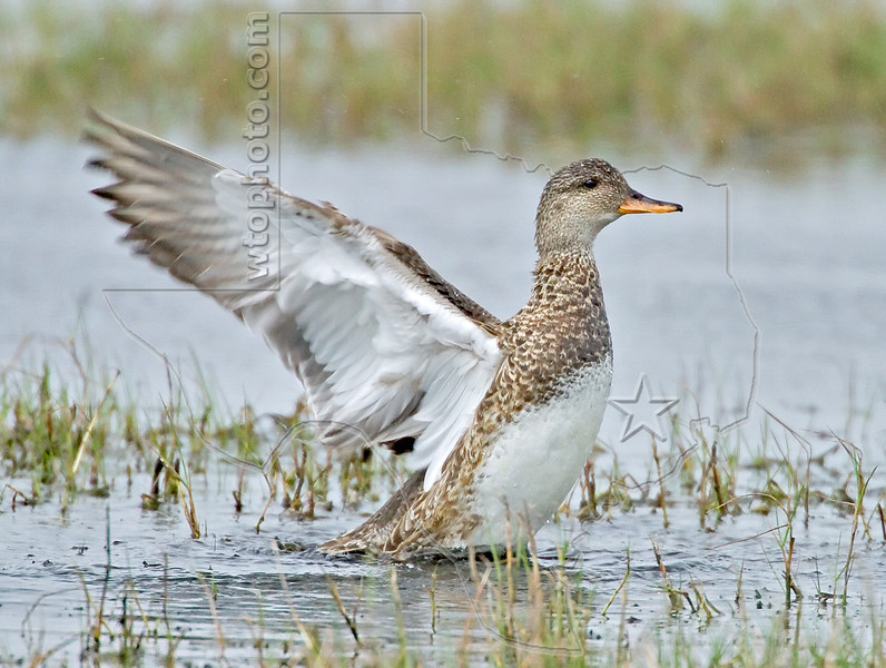Gadwall Duck, Female,<br /> Brazoria National Wildlife Refuge