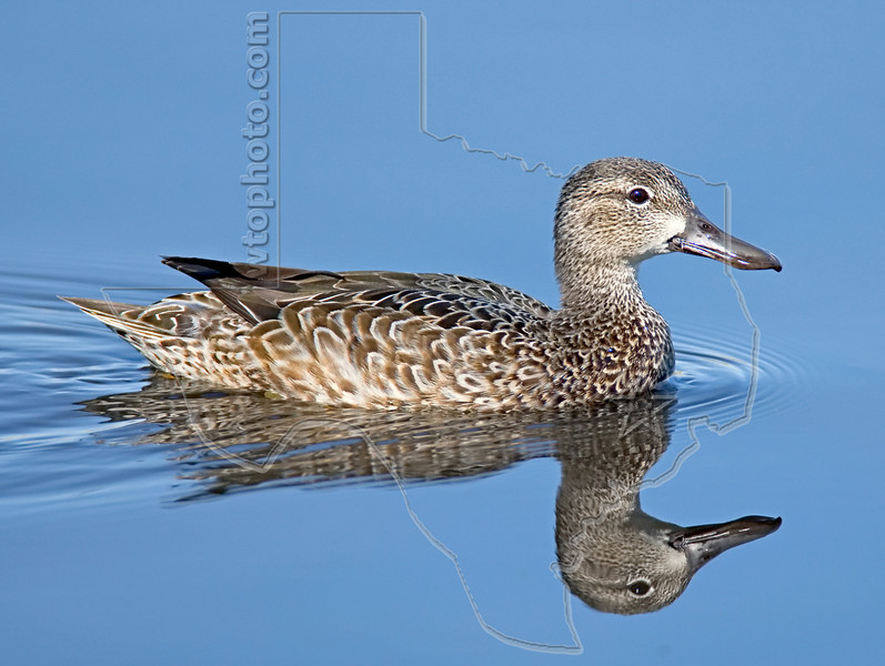 Blue-winged Teal, Female,<br /> Brazos Bend State Park, Texas