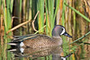 Male Blue-winged Teal Duck,<br /> Brazoria National Wildlife Refuge, Texas