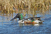 Male Northern Shoveler,<br /> Brazoria National Wildlife Refuge, Texas
