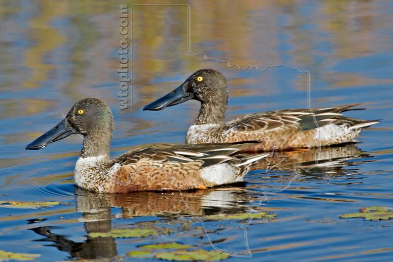 Male Northern Shoveler Ducks,<br /> Brazoria National Wildlife Refuge, Texas