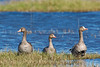 White-fronted Geese,<br /> Brazoria National Wildlife Refuge, Texas