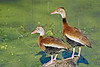 Black-belllied Whistling Ducks,<br /> Brazos Bend State Park, Texas