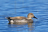 Gadwall Duck, Male,<br /> Brazoria National Wildlife Refuge, Texas