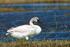 Trumpeter Swan,<br /> Brazoria National Wildlife Refuge, Texas