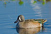 Blue-winged Teal, Male,<br /> Brazos Bend State Park, Texas