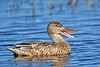 Female North Shoveler Duck,<br /> Brazoria National Wildlife Refuge, Texas