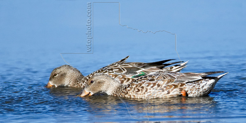 Blue-winged Teal Ducks, Females<br /> Brazos Bend State Park, Texas
