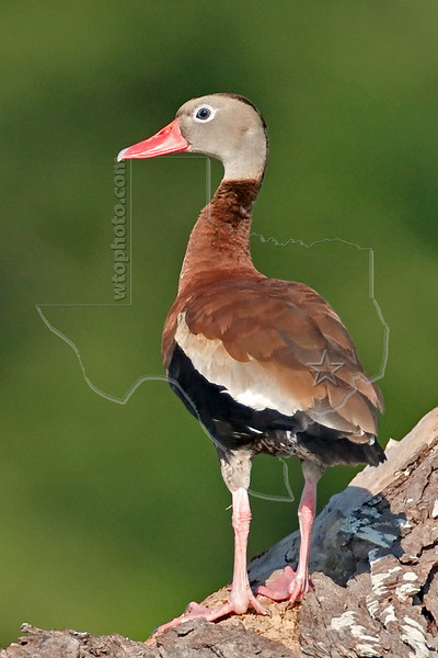 Black-bellied Whistling Duck,<br /> Brazos Bend State Park, Texas