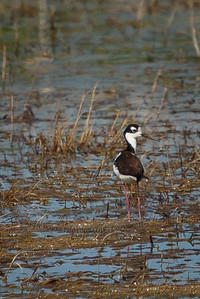 black necked stilt, with freakishly long pink legs.