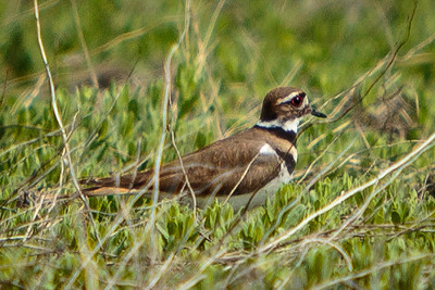 nervous killdeer, with big red eyes, running through the grass about 40yds south of me.