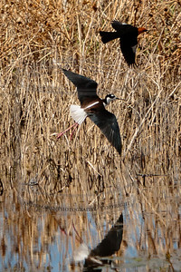 Stilt and blackbird, harassing each other as they flee from me about 75yds south.